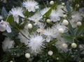 Myrtle (leaves) incense herb